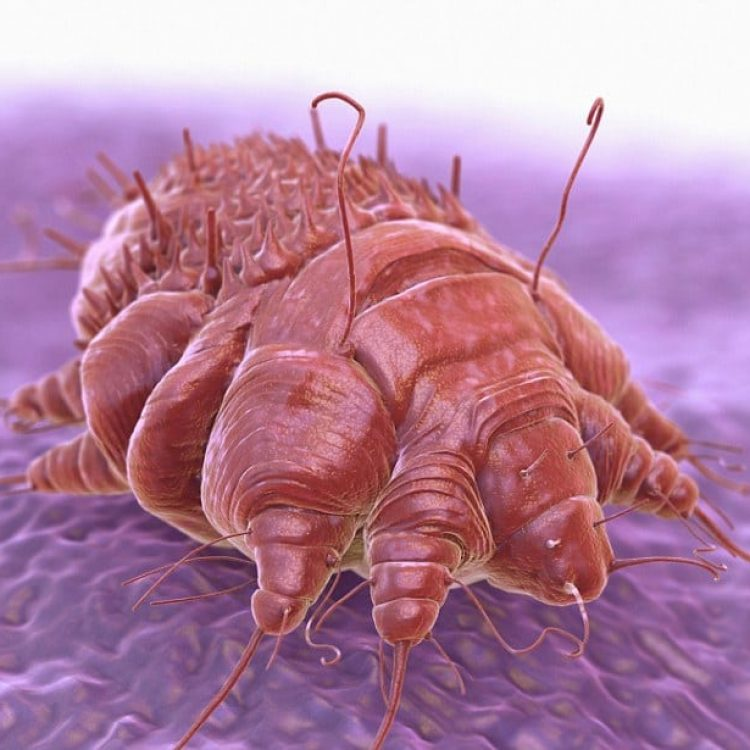 D0N3X6 A single Sarcoptes scabiei mite which is cause contagious skin infection Scabies. mite burrows under host's skin causing